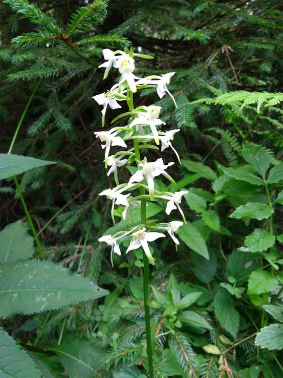 orchidée-platanthère