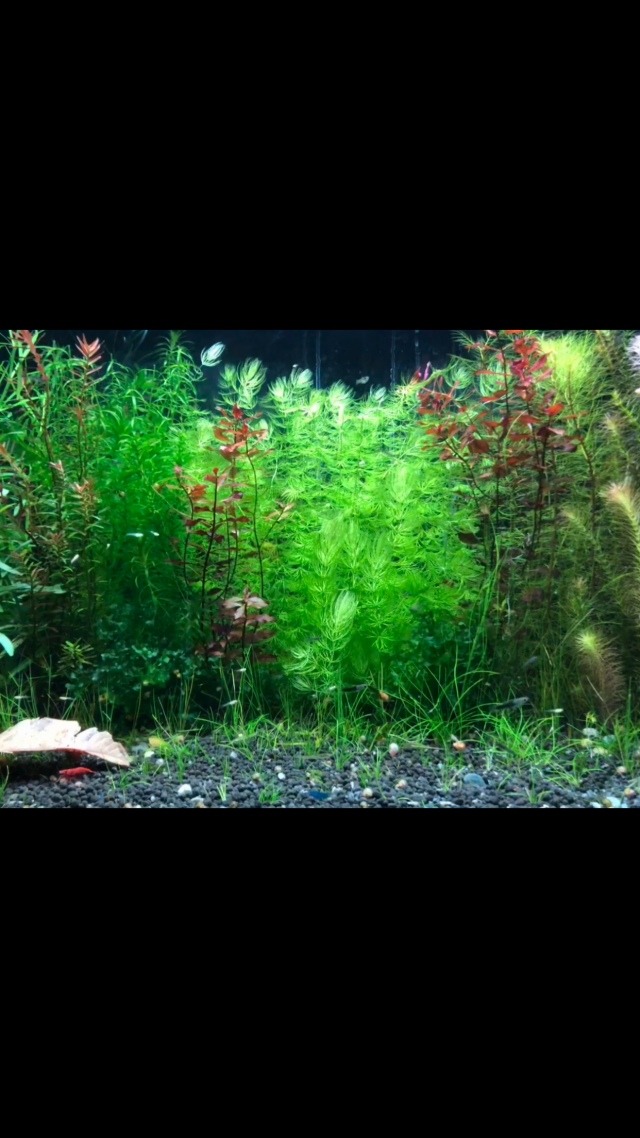 Aquarium Naturel sans filtre : Crevette, endler et kohaku 190131034122400626