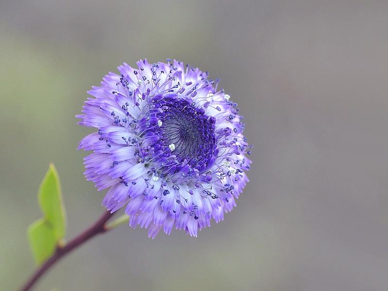 Globulaire buissonnante (234)