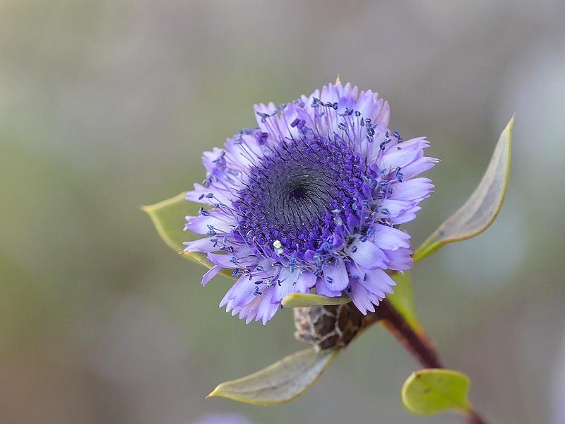 Globulaire buissonnante (302)