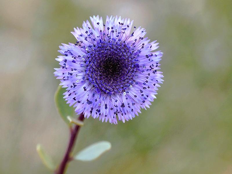 Globulaire buissonnante (489)