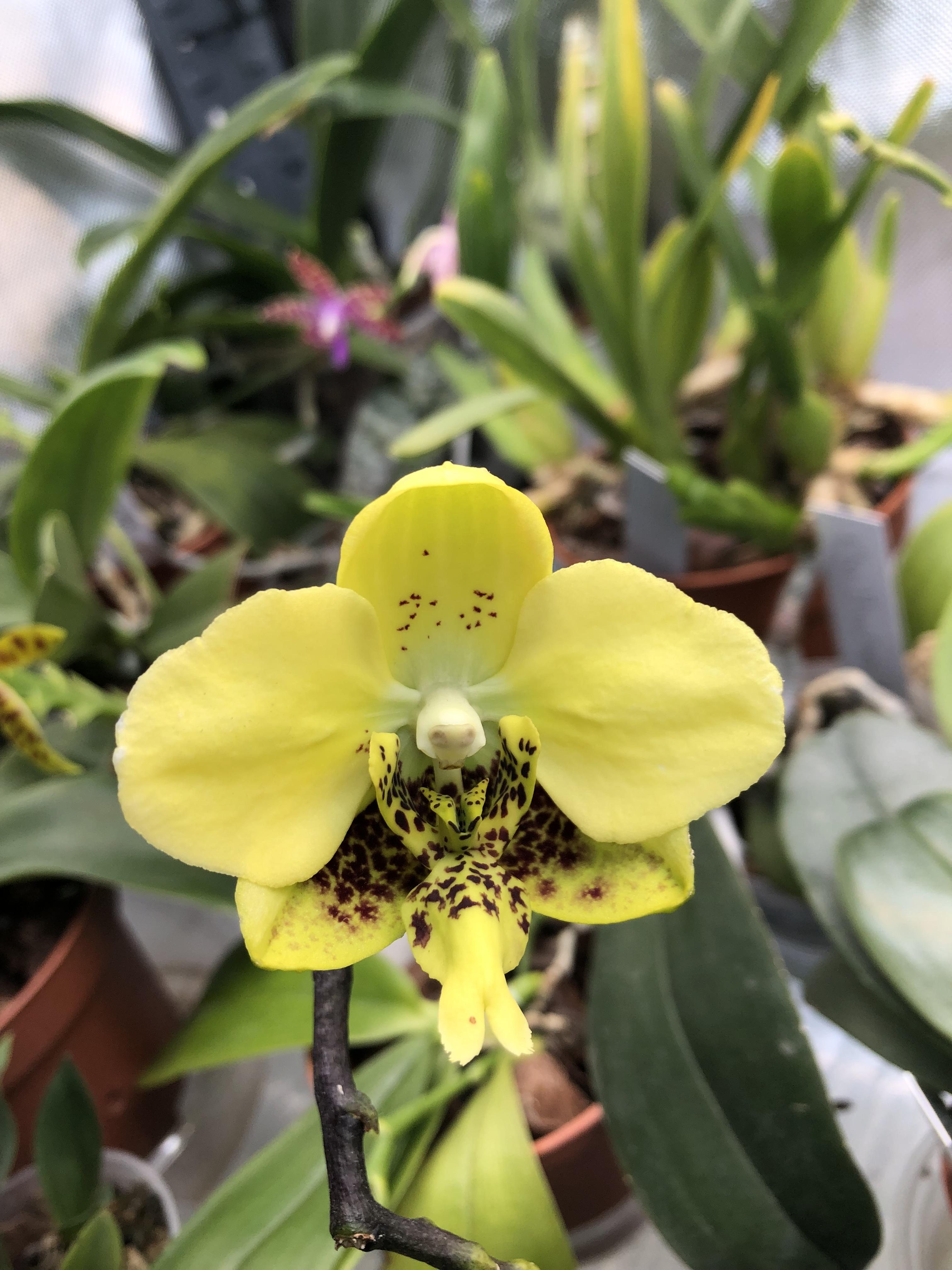 Hampe Phalaenopsis stuartiana var. nobilis 190219053608843875