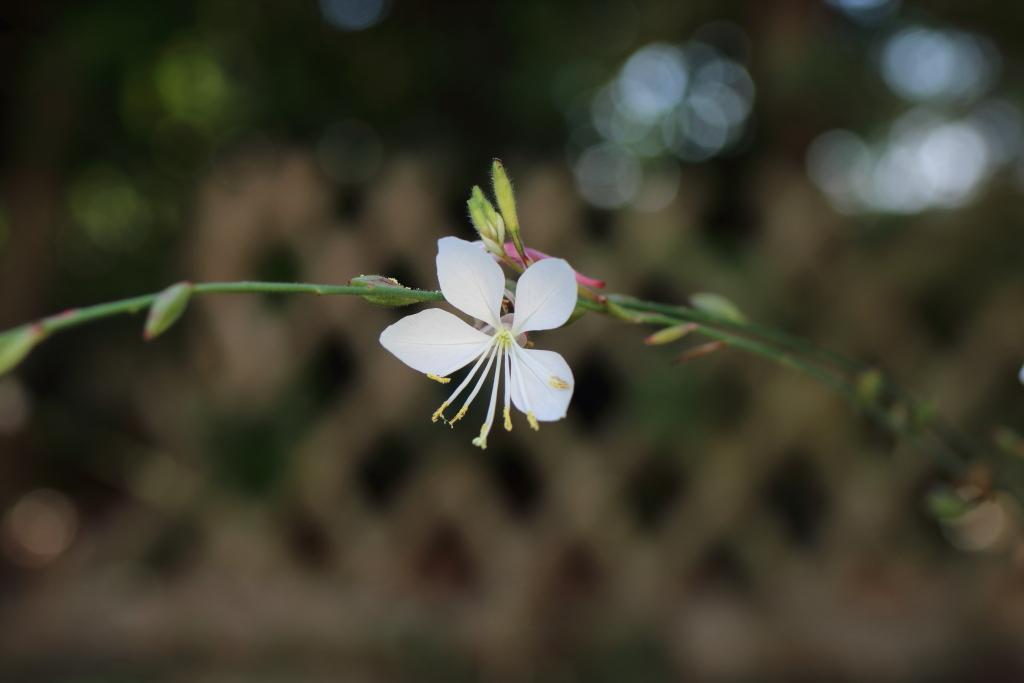 fleur gaura 190316092607946096