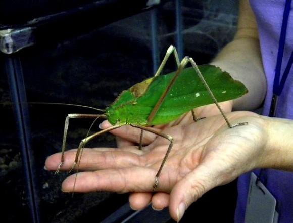 25-giant-long-legged-katydid-tn_580xh