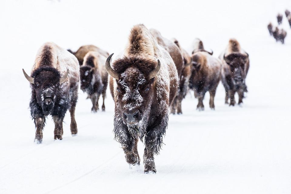 bison-2237654_960_720