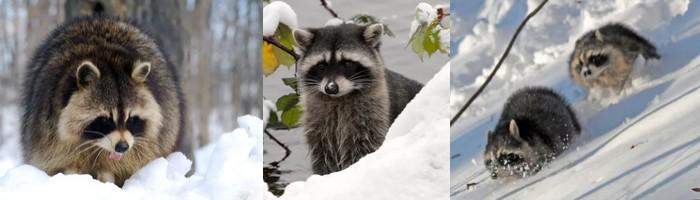 bannière raccoon