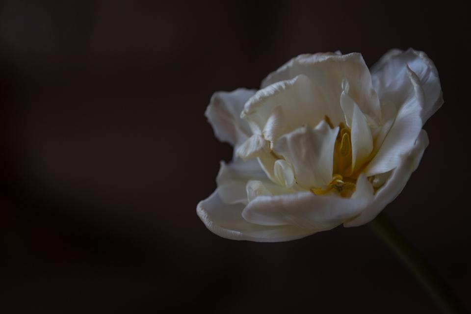 Tulipe 19032412081577794