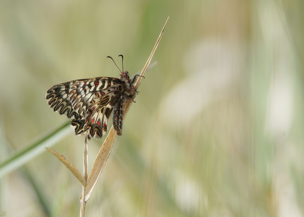 L'argus et autres papillons  mise a jour du 04.04.2019 ( camaroney ) - Page 14 190404090844526267
