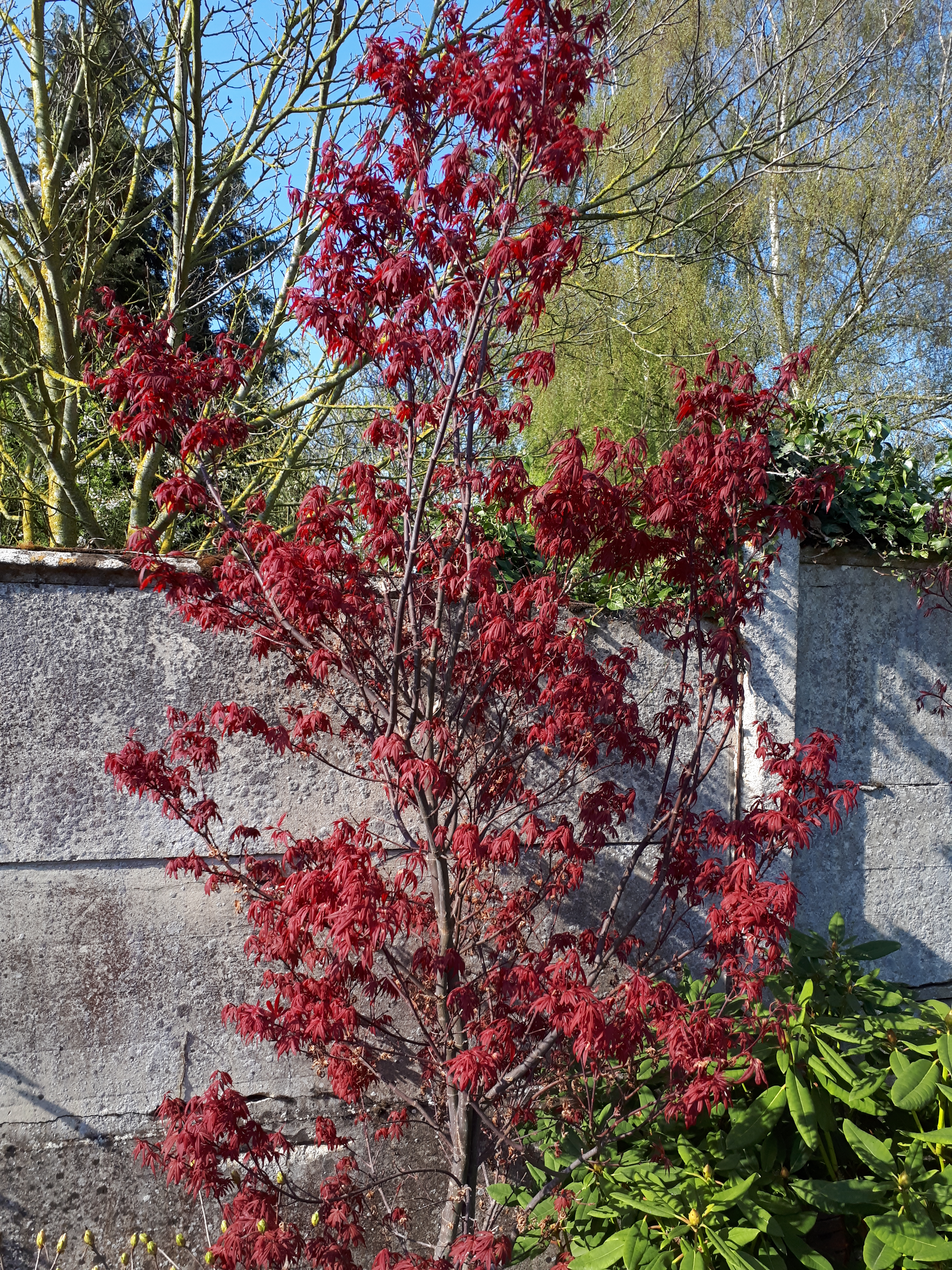 Acer Palmatum Skeeter Broom Page 7 Au Jardin Forum De Jardinage