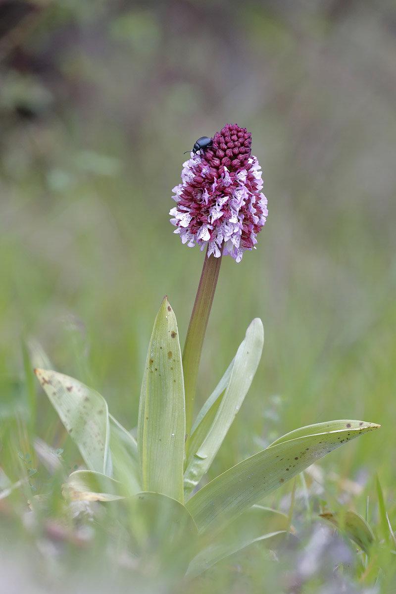 Orchidées sauvages 190425112311416949