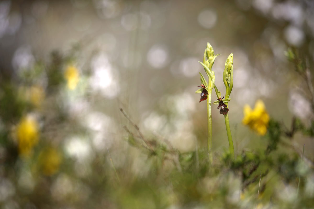 Ophrys mouche 190503013314308069