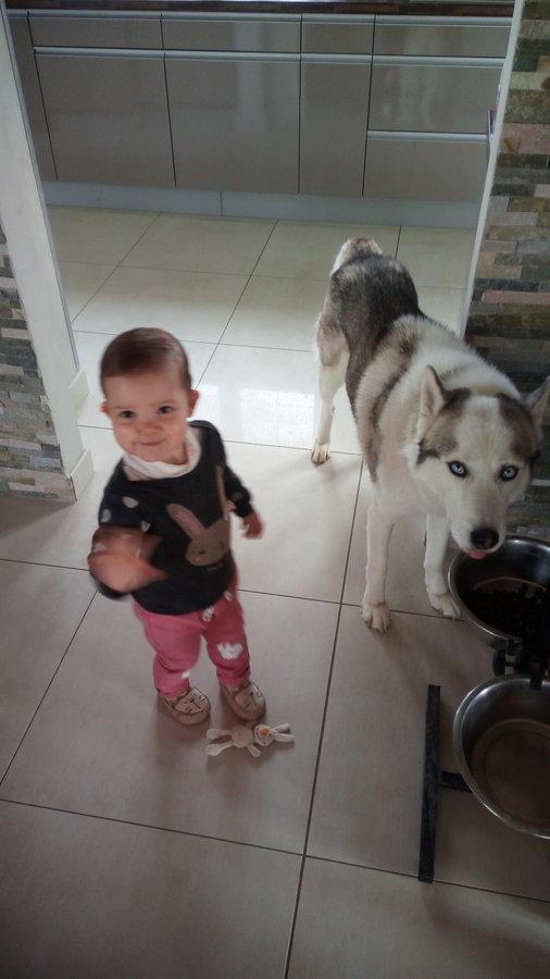 [ADOPTÉ!] Guts, Husky mâle de 8 ans, cherche bonne famille! 19050801210733679