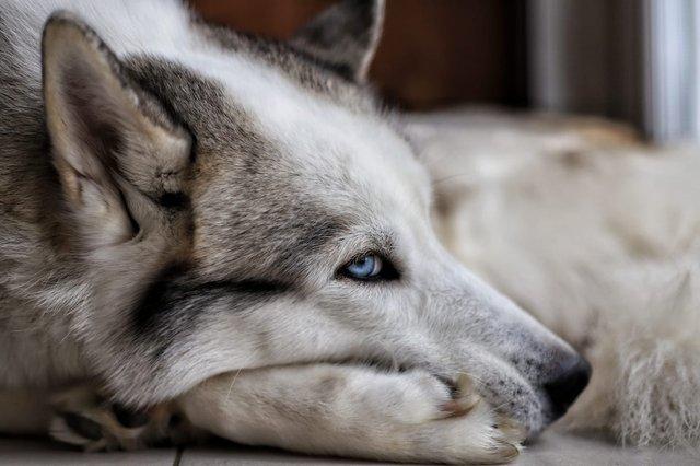 [ADOPTÉ!] Guts, Husky mâle de 8 ans, cherche bonne famille! 190508115455482669