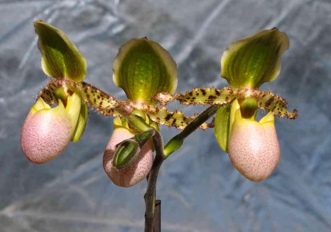 Paphiopedilum pinocchio 190526072520513028