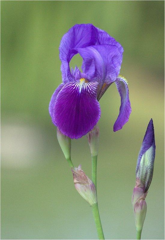 Iris  190528045351625131