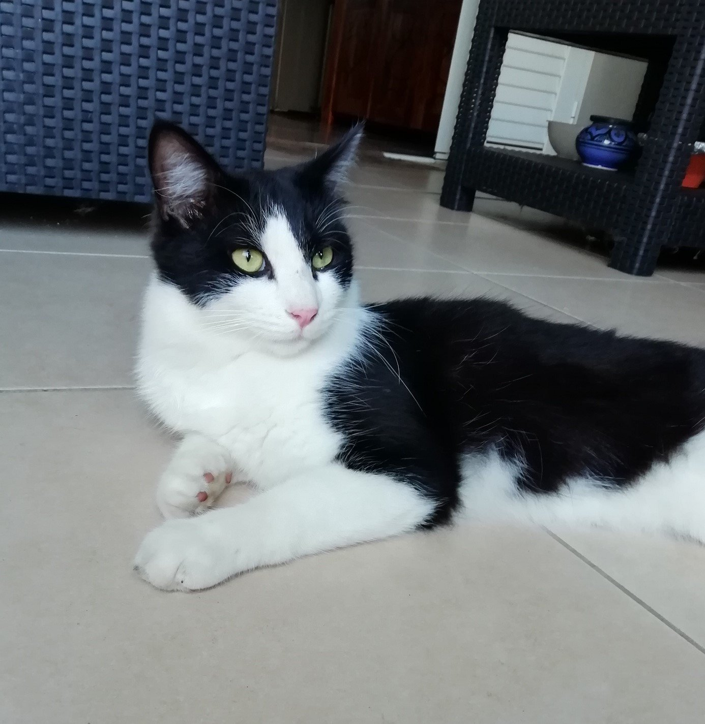 CHAPLIN loulou noir et blanc, poils mi-longs -  1 an et demi - marrainé par Harfeng et Ana 190608012511645969