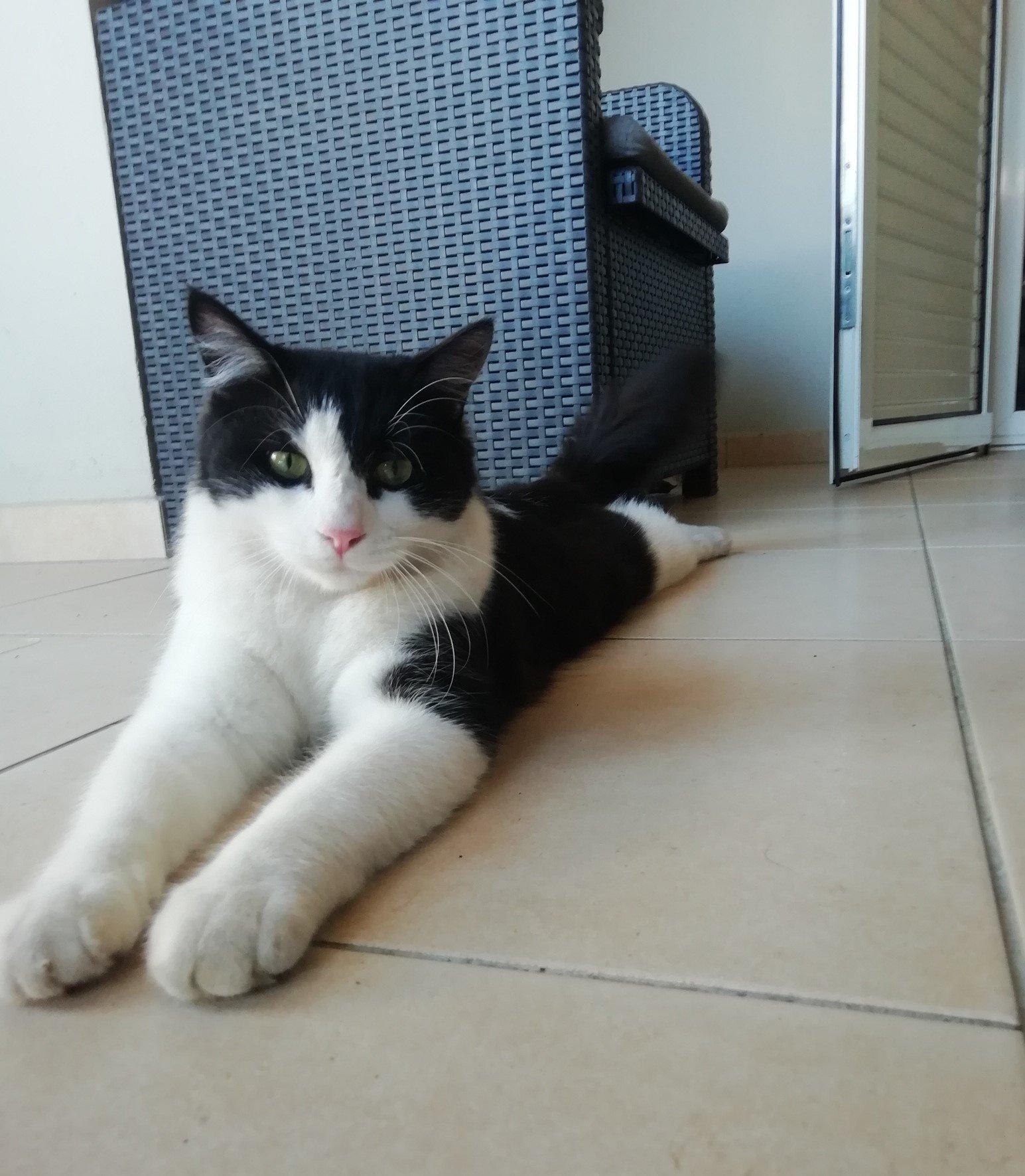 CHAPLIN loulou noir et blanc, poils mi-longs -  1 an et demi - marrainé par Harfeng et Ana 190608012522409055