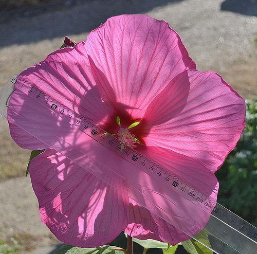 Hibiscus des Marais ou Moscheutos *** 190616072231158900