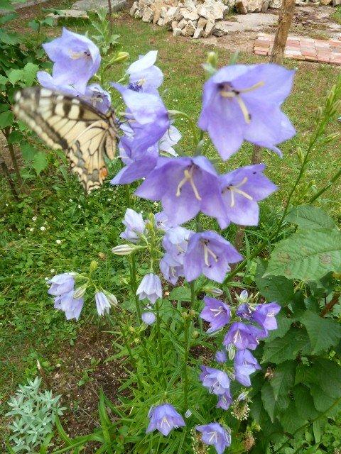 Fleurs clochettes et papillon