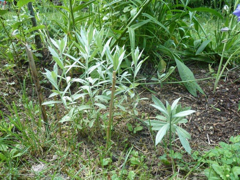 Salvia apiana juin