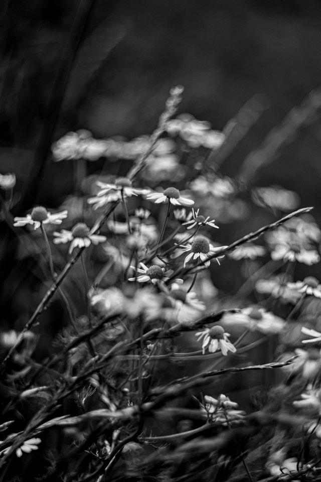 Fleurs des champs 190619014423636548