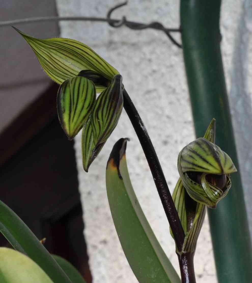Paphiopedilum rothschildianum 190623113552801249