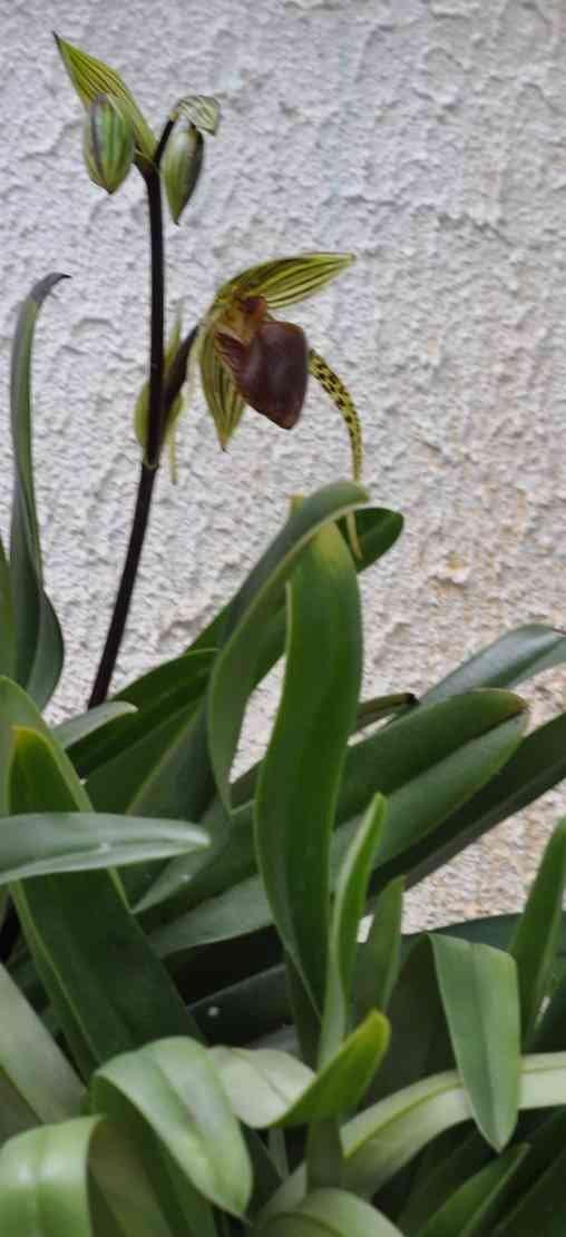 Paphiopedilum rothschildianum 190623113554157788