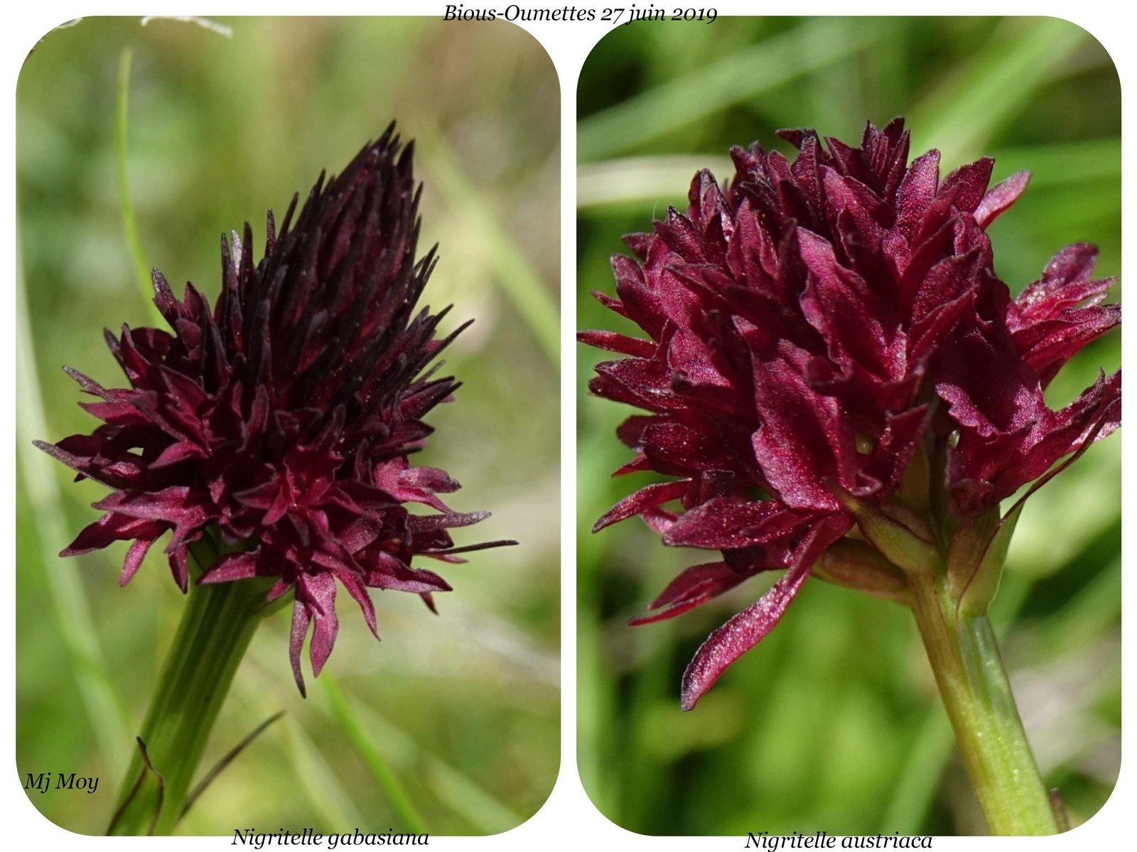 Gymnadenia ( Nigritella ) gabasiana ( Nigritelle de Gabas ) 190703085404490585