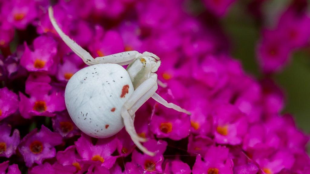Araignée crabe 19080810414721469