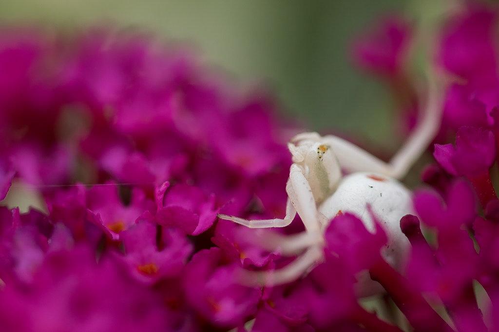 Araignée crabe 190808104247844295