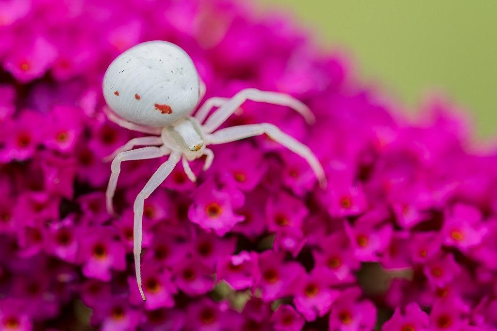 Araignée crabe 190808104334491396