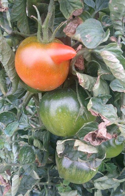 Photos de tomates - Page 5 190924105149389066