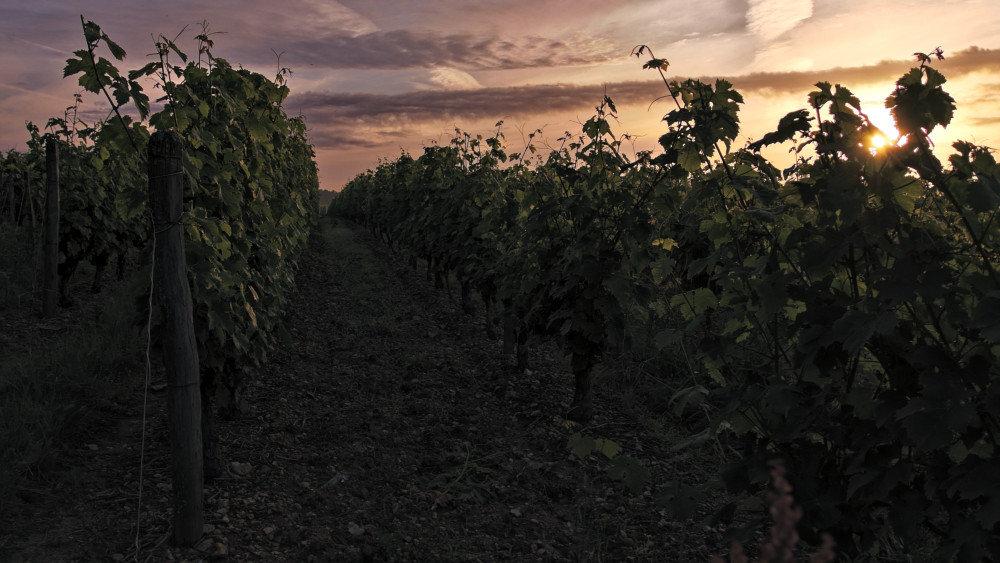 Petit matin dans les vignes 191019072931104215