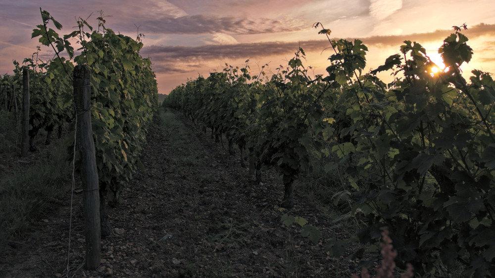 Petit matin dans les vignes 191019072931353726