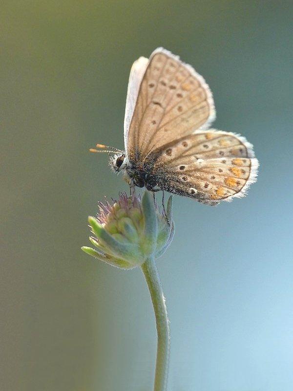 Papillon (1552)