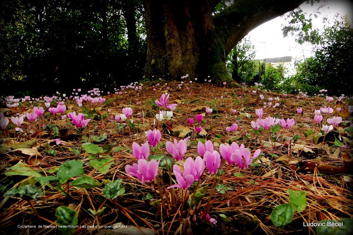 Cyclamen hederifolia = neopolitanum - cyclamen de Naples 191118111636932659