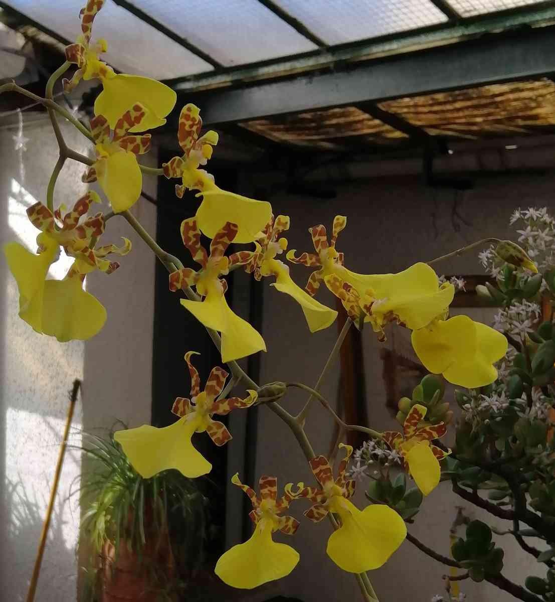 Lophiaris splendida   (Oncidium splendidum) 191227051039916893