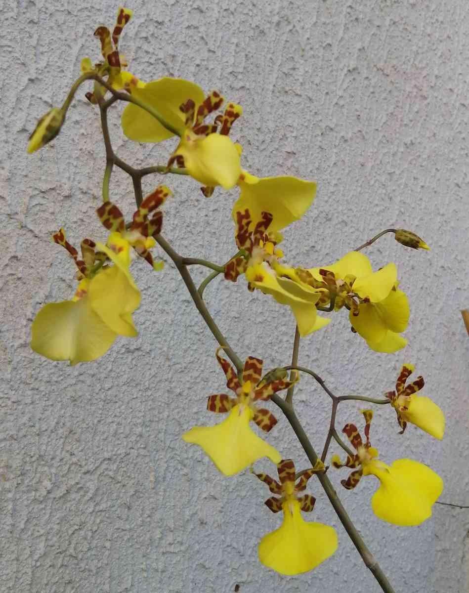 Lophiaris splendida   (Oncidium splendidum) 191227051040686462