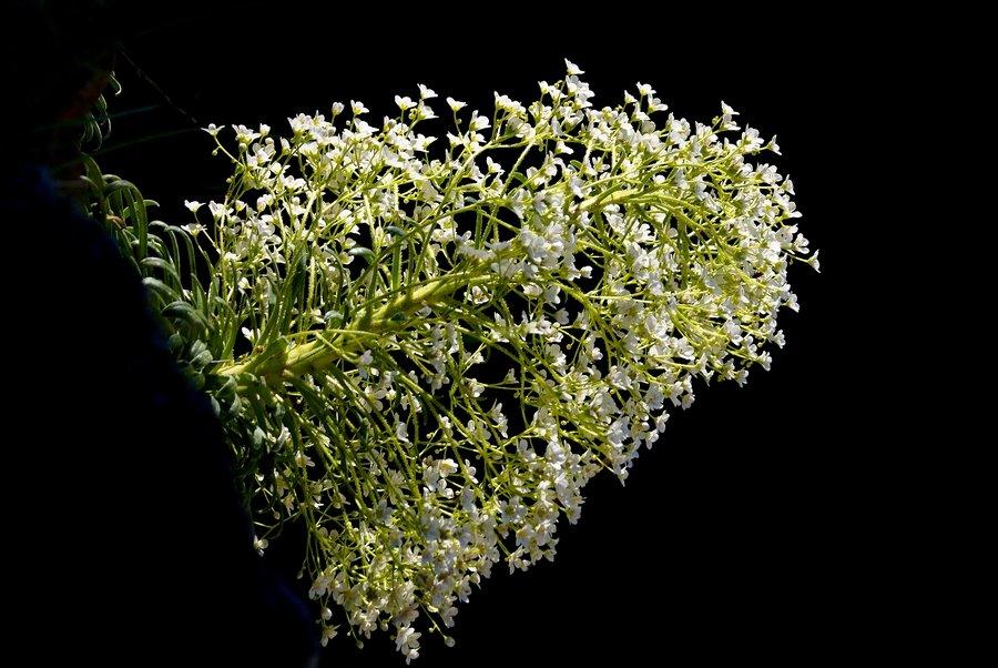 saxifraga longifolia 2001221112406958