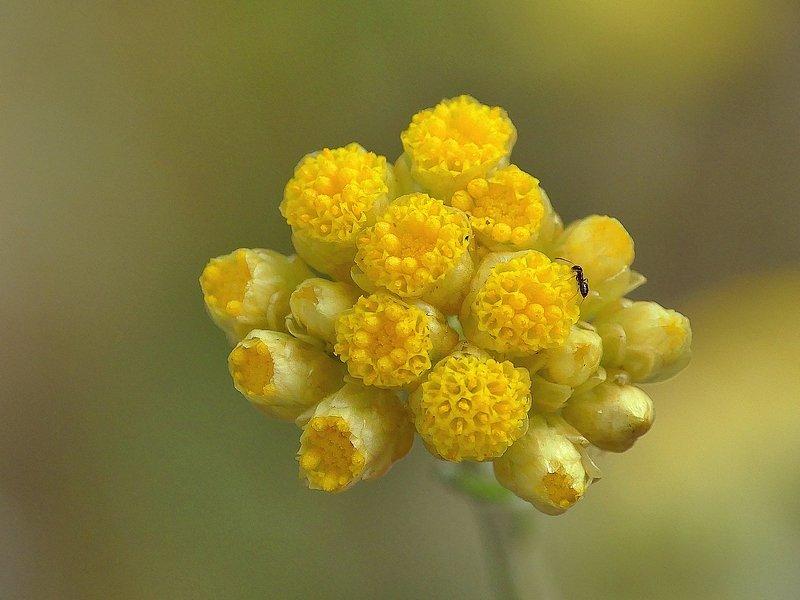Immortelle jaune (77cc)