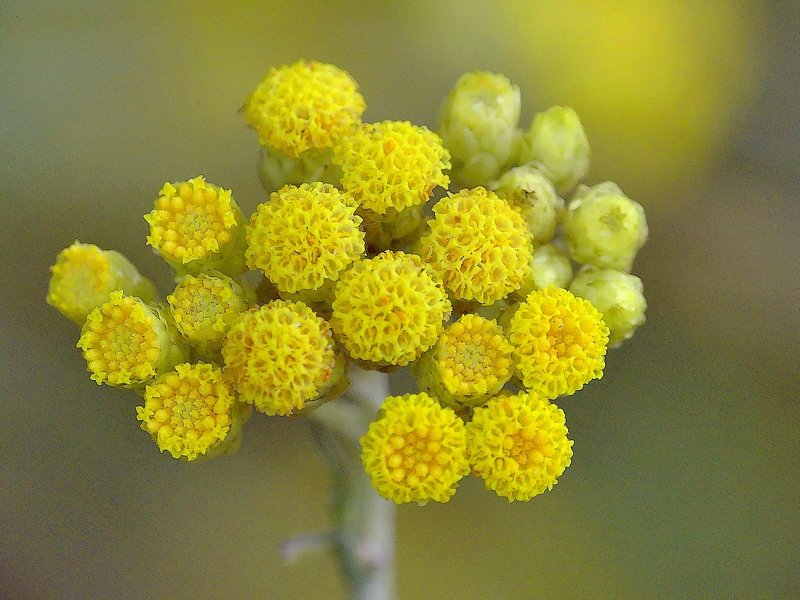 Immortelle jaune (103cc)
