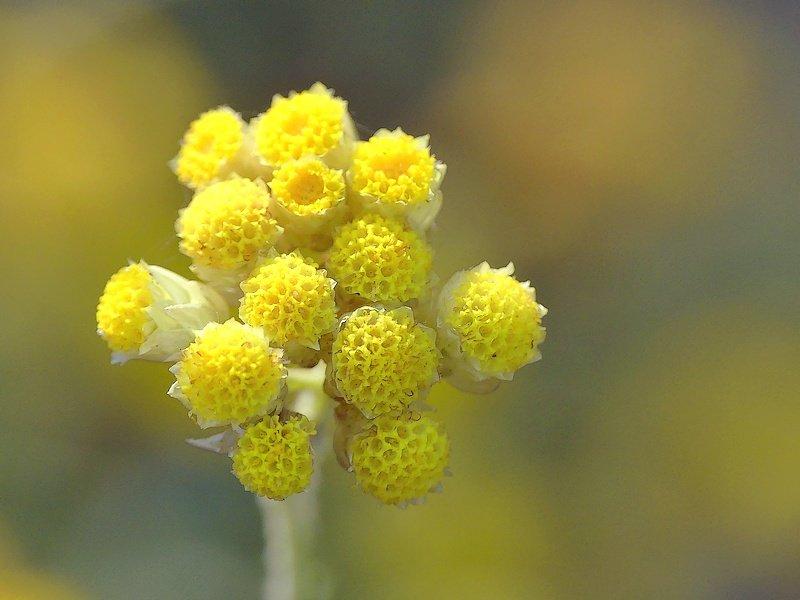 Immortelle jaune (84cc)