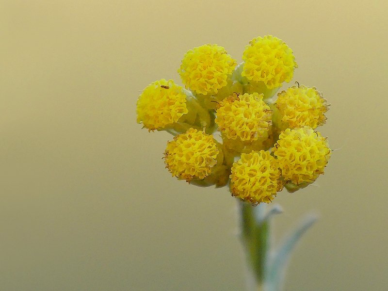 Immortelle jaune (188cc)