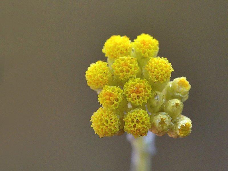 Immortelle jaune (294cc)