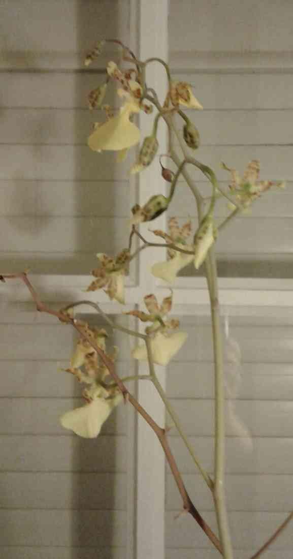 Lophiaris splendida   (Oncidium splendidum) 200213061611169182