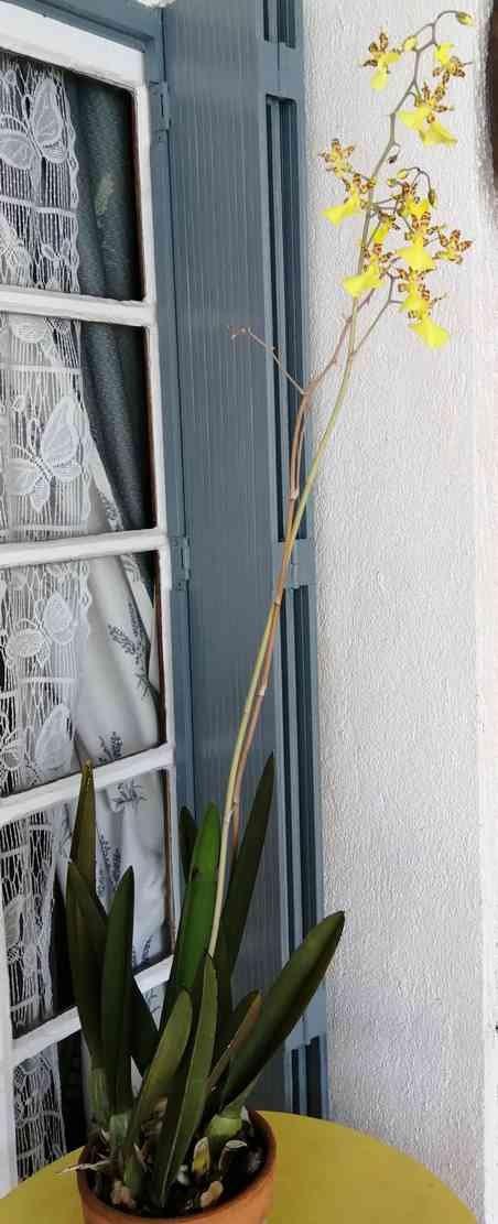 Lophiaris splendida   (Oncidium splendidum) 200219073308117361