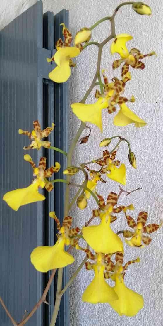 Lophiaris splendida   (Oncidium splendidum) 200219073308968706