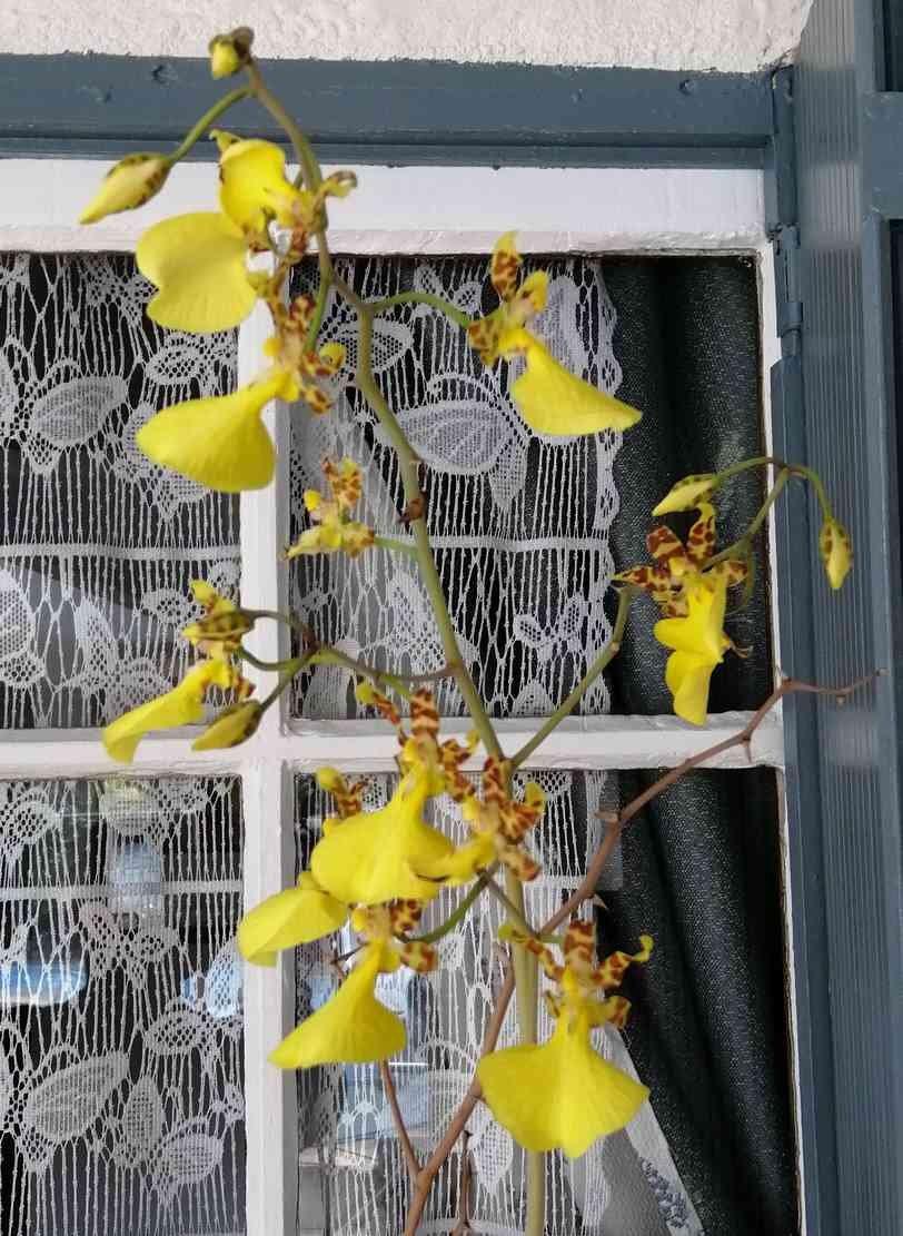 Lophiaris splendida   (Oncidium splendidum) 200219073309217324