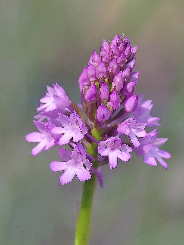 Orchis pyramidal (36d)
