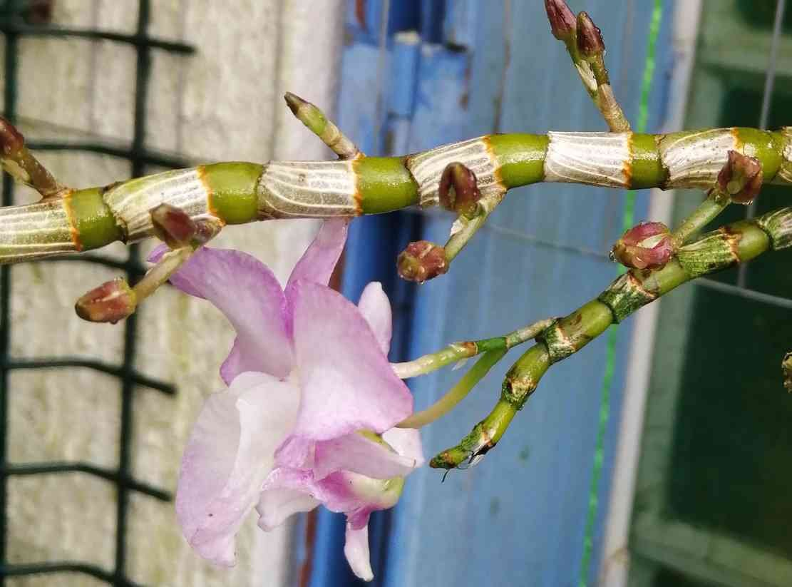 Dendrobium moniliforme Sekkoku en japonais, 200331092936863359